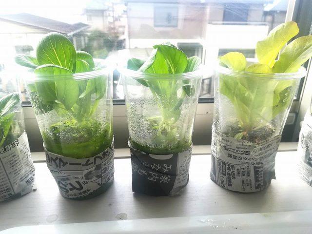 「プラカップ二層式栽培法」の成果です
